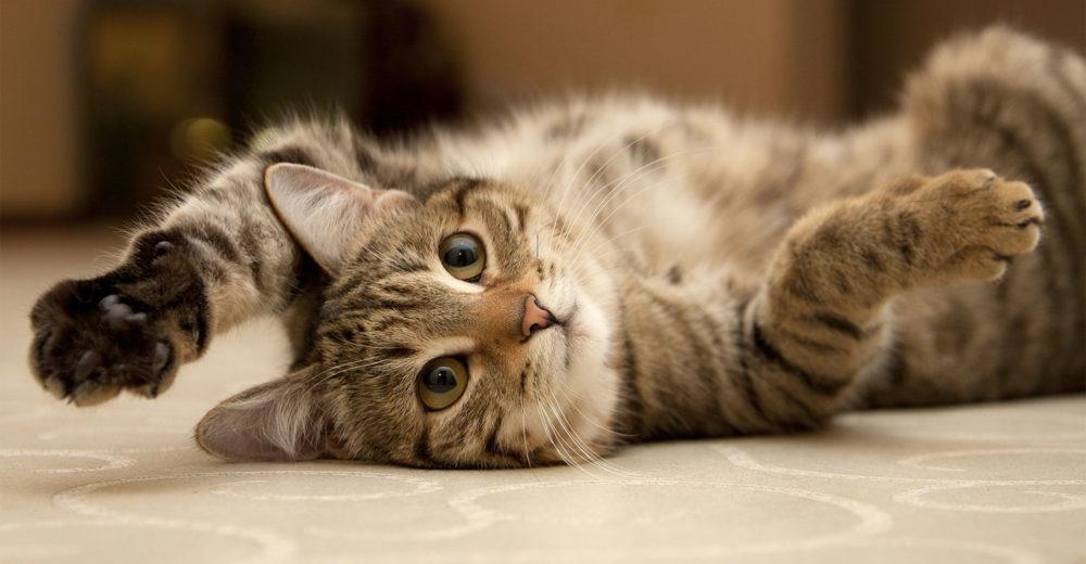 """Que és la """"enfermedad del arañazo del gato"""""""